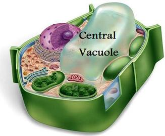 Vacuoles  Vacuole Animal Cell